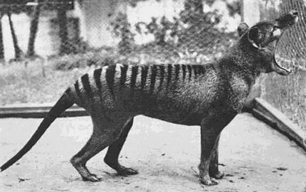 The last known Tasmanian Tiger