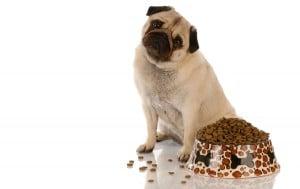 pet-dog-pug-eat-diet-food-friendly-love-rental